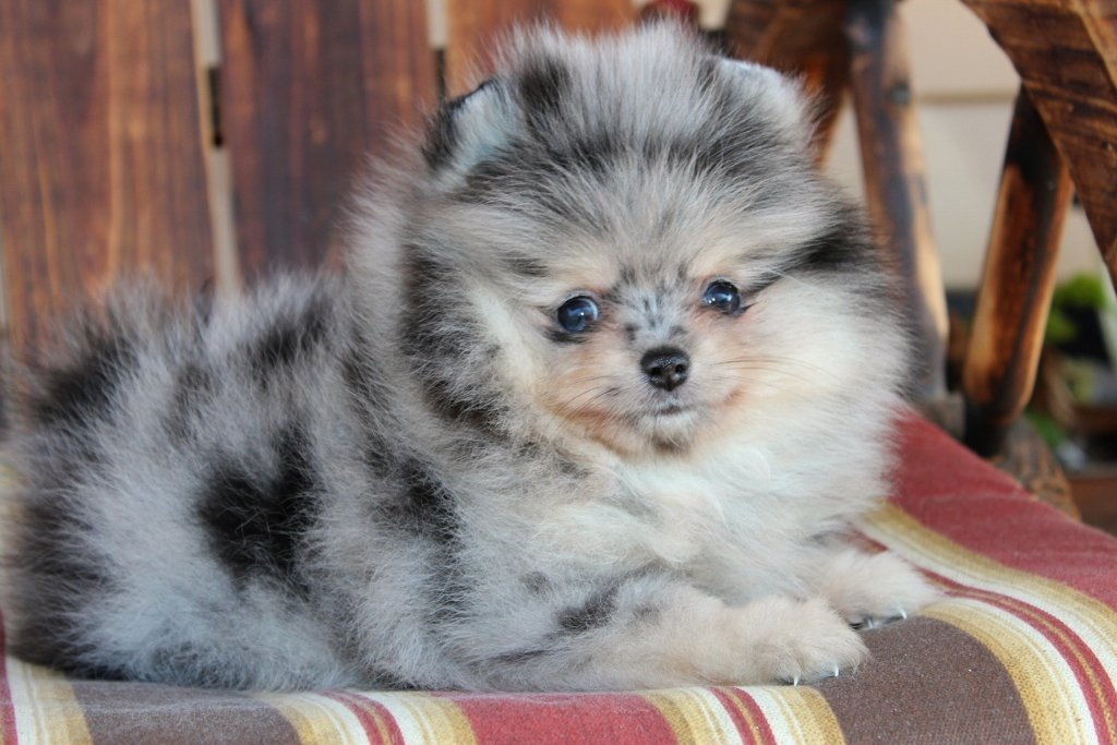 Blue Merle Pomchi Related Keywords - Blue Merle Pomchi ...