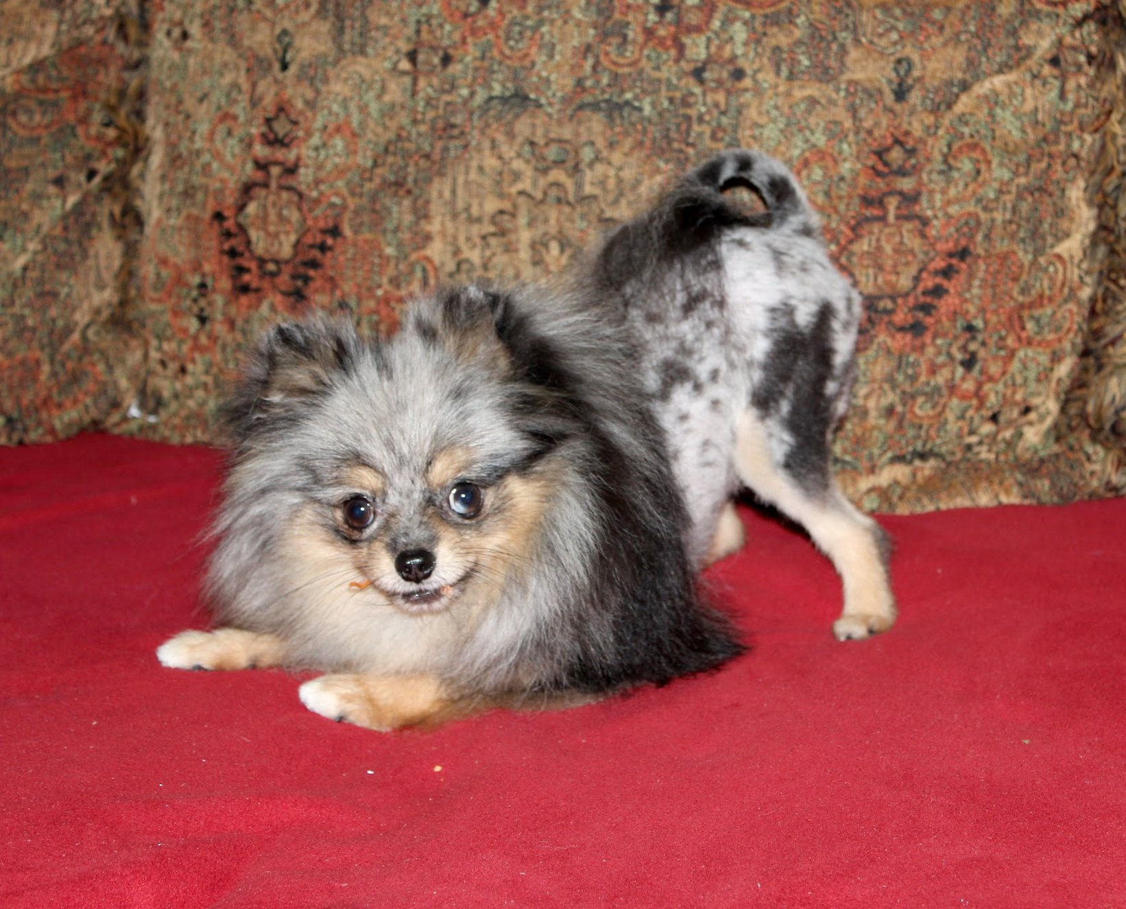 Pictures Of Black Pomeranian Haircut Kidskunstinfo